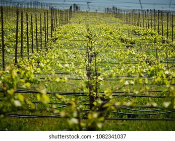 Vineyard in spring. Rows of young grape vines on a hill.