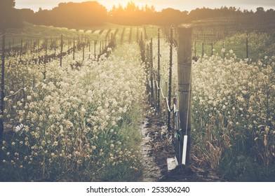 Vineyard in Spring with Vintage Instagram Film Style Filter, blur