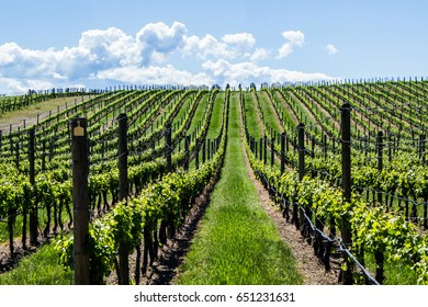 Vineyard in Springtime: Rows and Rows of Grapes under a blue sky