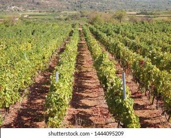 Vineyard Stari Grad Plain, Hvar