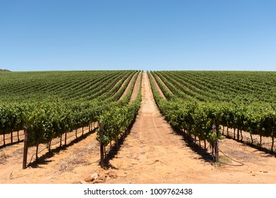 Vineyard in the Stellenbosch region of the Western Cape South Africa. Circa 2017. Vines grow in straight neat lines