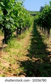 Vineyard in summer
