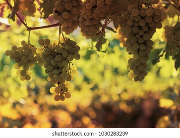 Vineyard in summer. Close up of bunch of grapes hanging from the vines.