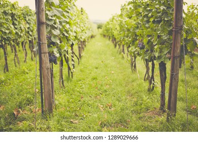 Vineyard in the summer on a cloudy day, toned
