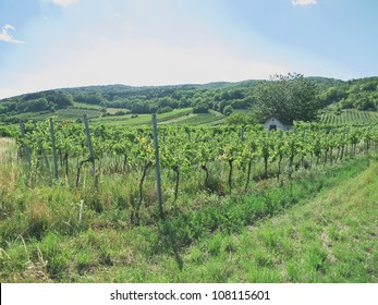 A vineyard in the summer time