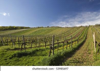 vineyard summertime scene in austria