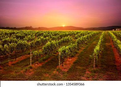 vineyard at sunset beuatyfull sky.veiw of grape field moutian and sun background.pattern of grapes tree