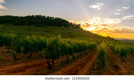 Vineyard at sunset in Catalonia.