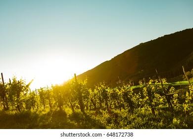 vineyard at sunset in italian wine hills of valdobbiadene with blue sky