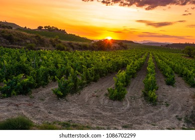 Vineyard at sunset, La Rioja, Spain