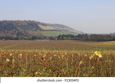 Vineyard in Surrey. England. Late Autumn (Fall). Box Hill on North Downs in background. With commuter train.
