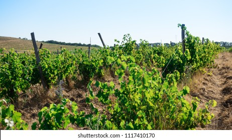 Vineyard with thickets of grass and flowers and lopsided pillars
