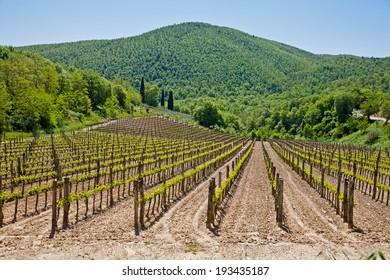 Vineyard in Tuscany,Italy