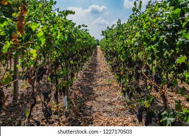 Vineyard of Ubiale Clanezzo in the Province of Bergamo in the Italian region of Lombardy