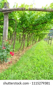 Vineyard using the trellis system of grapes hanging from a traditional wooden trellis. With roses