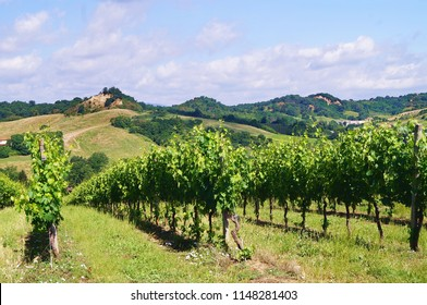 Vineyard in the Valdarno, Tuscany, Italy
