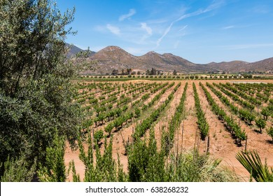 A vineyard in a valley in Ensenada, Mexico in Baja California.