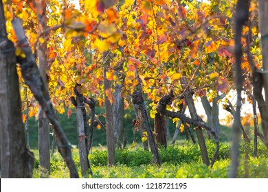 Vineyard in vibrant colors after harvest at golden sunset. Burgenland, Austria.