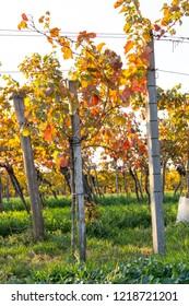 Vineyard in vibrant colors after harvest at golden sunset. Burgenland, Austria.