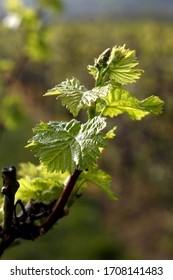 Vineyard with vine blossom and leaves