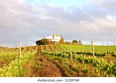 Vineyard with vine sprigs in Portugal in springtime