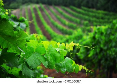 Vineyard and vines in the early summer, royal vineyard