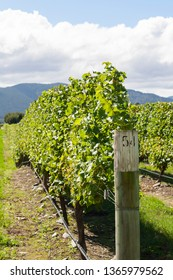 Vineyard with vines in summer in New Zealand