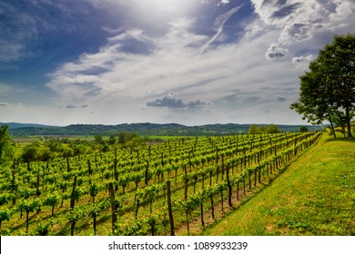 Vineyard in Vipava valley, Slovenia. Spring rural landscape