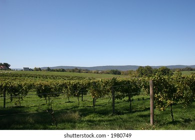 Vineyard in Virginia.