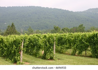 Vineyard in the Virginia Mountains