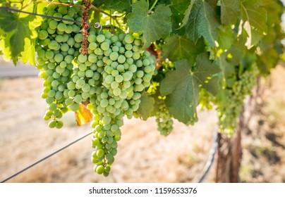 Vineyard in Washington State
