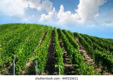 Vineyard wave landscape, Montagne de Reims, France