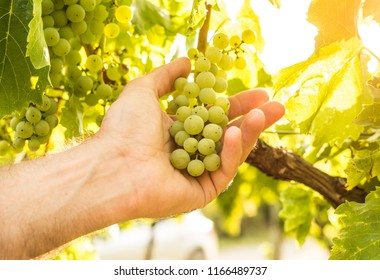 Vineyard - white grapes in farmer's hand - close up. Agriculture or gardening - country outdoor scenery, warm sunset light.