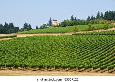 Vineyard in Willamette Valley Oregon