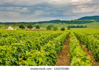 A vineyard in the wine country near the village of Puligny-Montrachet, France