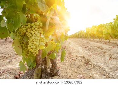 Vineyard with wine grapes along Wine Road in summer, Spain Europe