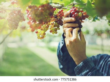 Vineyard worker checking quality of wine grapes in Thailand.