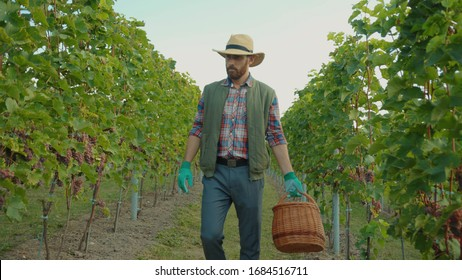 Vineyard worker in strawhat and gloves working on vine plantation collecting red ripe grapes at fall season. Concept of winery.