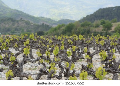Vineyard with young leaves, on silex soil. Blurred mountains in the background. Terroir of Provence, may in France.