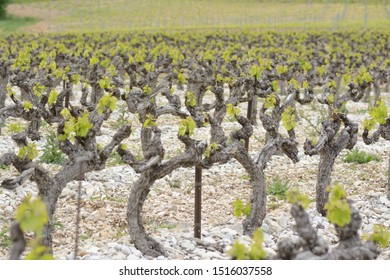 Vineyard with young leaves, on silex soil. Terroir of Provence. May in France.