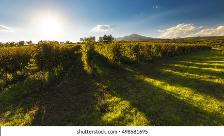 vineyards of Aglianico del Vulture in Basilicata, southern Italy