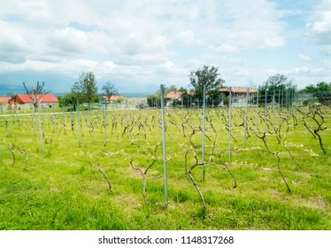 Vineyards in the Alazani Valley