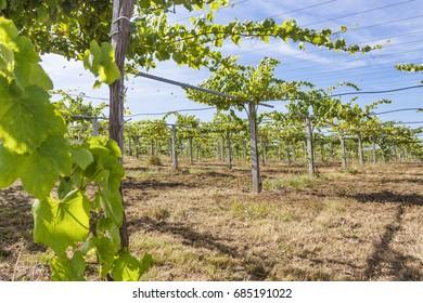 Vineyards of Albarino wine in Salnes region, Galicia, Spain