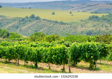 Vineyards along the Danube river in the village of Mechka North East Bulgaria