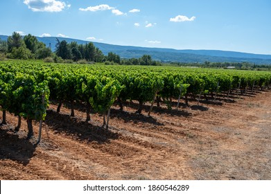 Vineyards of AOC Luberon mountains near Apt with old grapes trunks growing on red clay soil, Vaucluse, Provence, France. Red or rose wine grape ready to harvest.