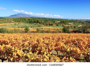 The vineyards in autumn at the foot of Mont Ventoux