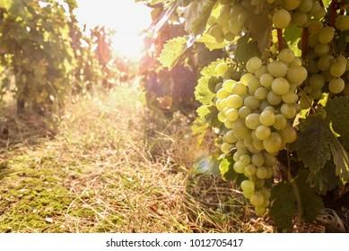 Vineyards in autumn harvest with sun flare