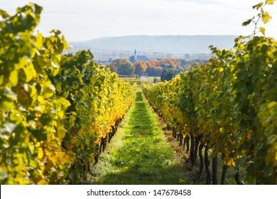 Vineyards in autumn in Rheingau, Germany