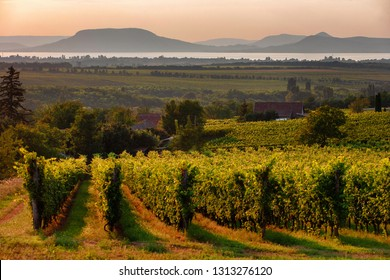 Vineyards and the Badacsony mountain with Lake Balaton at sunset in Hungary