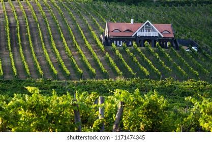 vineyards in Balaton highland, Badacsony mountain, Hungary